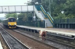 Runaway-Cow-Gets-on-Train-Tracks-Stops-Morning-Commute-in-UK-Station-384745-2